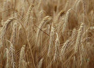 Najczęściej występujące choroby pszenicy
